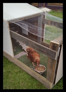 Chicken wire keeps the girls safe, but lets them get some fresh air and sunshine