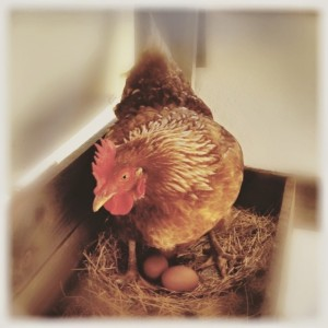 The laying box is dark, private and comfortable, and off the ground where the eggs will be safe
