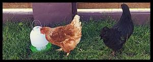 Sunshine and Raven are Isa Brown hens, a hybrid breed known to be good layers